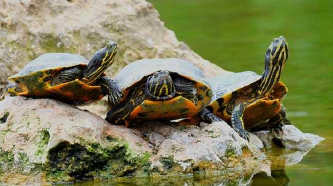 tartarughe dacqua