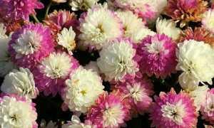 crisantemi foto