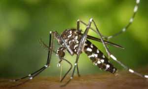 zanzara foto